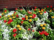 Beatiful X shaped pattern created with Premium Annuals
